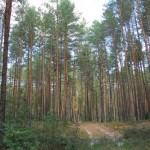 Дорога через сосновый бор от Козельска до шахтерского городка Сосенский