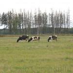 Коровы Подольска